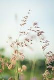 Rött gräs Arkivfoton