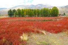 Rött gräs av Sangdui Arkivbild