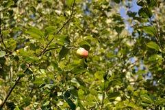 Rött grönt äpple på trädet Arkivfoto