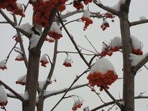 Rött grupper, rönn som är dold, vinter, rimfrost, bakgrund som är ljus, snö, vitt som är ashberry, träd, closeup, jul, säsong, fö arkivfoto