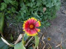Rött gult blomma för blomma Arkivfoton