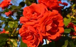 Rött härligt för Rosa blombukett arkivfoton