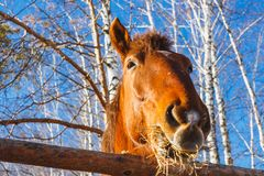 Rött hästhuvud som äter hö på en solig dag arkivbild