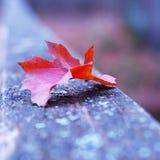 Rött höstblad på den gamla träbron Arkivbild