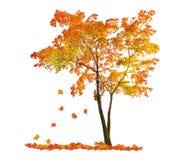 Rött höstlönnträd med fallande sidor Arkivfoto