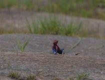 Rött hövdat vaggar agamaen som visar mörker - blå våg Royaltyfri Fotografi