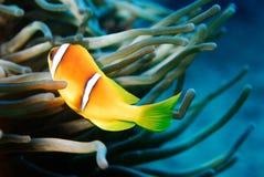 rött hav för anemonfisk Arkivfoto