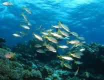 rött hav för fisk Royaltyfri Fotografi