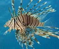 rött hav för gemensam lionfish Arkivfoton