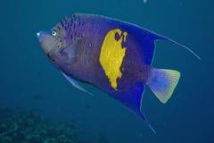 rött hav för havsängelmaculosuspomacanthus arkivbilder