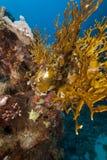 rött hav för korallbrand Royaltyfria Foton
