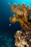 rött hav för korallbrand Arkivfoto