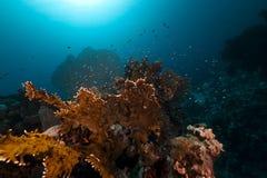 rött hav för korallbrand Arkivfoton