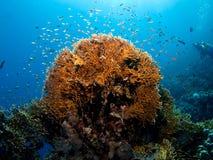 rött hav för korallbrand Arkivbild