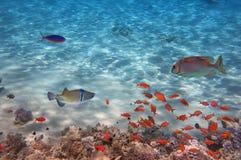 rött hav för korallfisk Arkivfoto