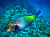 rött hav för parrotfish Royaltyfria Foton