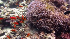 rött hav Härlig miljö för fisk och för rev stock video