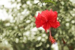 Rött hibiskusblommahuvud över vit bakgrund Fotografering för Bildbyråer