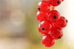 Rött i naturen - nya röda vinbär fotografering för bildbyråer