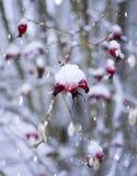 Rött i snön royaltyfri fotografi