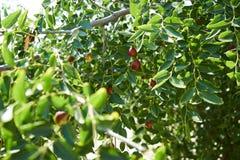 Rött Jujubefruktträd med gröna sidor, närbild royaltyfri fotografi