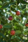 Rött Jujubefruktträd med gröna sidor, närbild arkivbilder