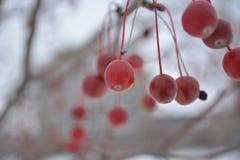 Rött körsbär Royaltyfria Foton