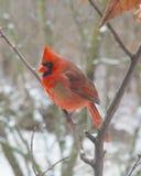 Rött Kardinal-Manlig Arkivfoto
