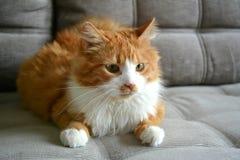 Rött katthusdjur Arkivfoto