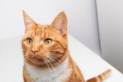 Rött kattsammanträde för stilig ljust rödbrun strimmig katt på en vit tabell som ser nyfiket av kamera fotografering för bildbyråer
