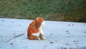 Rött kattsammanträde på vägen och se kameran lager videofilmer