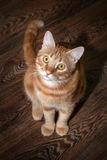 Rött kattslut upp Arkivbild