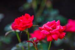 Rött knacka ut rosor Arkivbilder