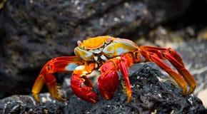 Rött krabbasammanträde på vaggar galapagos öar Stillahavs- hav ecuador arkivbilder