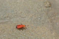Rött kryp som går på en sandig strand royaltyfria foton