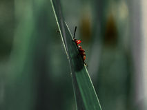 Rött krypnederlag bak gräset Royaltyfri Foto