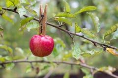 Rött - läckert äpple Arkivbild