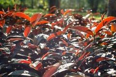 Rött lämnar växten Royaltyfri Bild