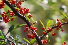 rött litet för frukt Royaltyfria Foton