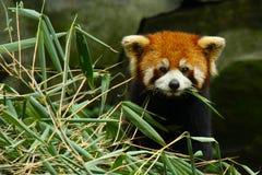 rött litet för panda Royaltyfri Fotografi