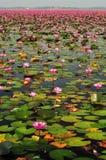Rött lotusblommahav, röd lotusblomma, lotusblomma, näckros Arkivbild