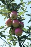 Rött med det gröna äpplet på filial med det gröna bladet Royaltyfri Fotografi