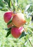 Rött med det gröna äpplet på filial med det gröna bladet Fotografering för Bildbyråer