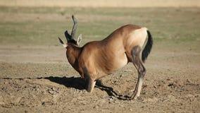 Rött mest hartebeest spela för antilop lager videofilmer