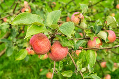 rött moget för äpplen Royaltyfria Bilder