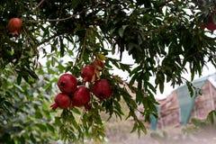 rött moget för pomegranates Arkivfoto
