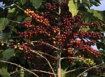 Rött moget kaffe på trädet royaltyfri foto