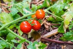 Rött mogna för tomater Arkivbild