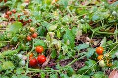Rött mogna för tomater Arkivfoton
