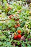 Rött mogna för tomater Royaltyfria Foton